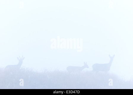 A family group of Roe deer emerge from the early morning mist in autumn, Norfolk, England - Stock Photo