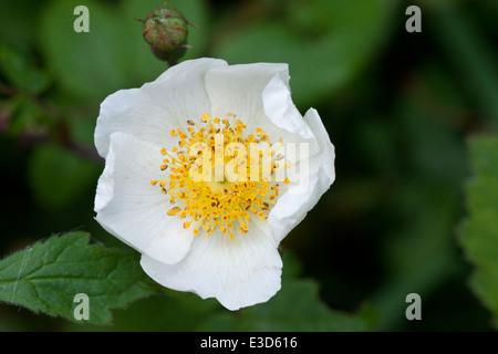 Wild dog rose (rosa canina). - Stock Photo