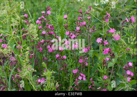 Red campion, Silene dioica, flowering plants - Stock Photo