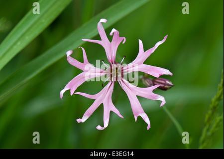 Ragged robin, Lychnis flos-cuculi, in flower. - Stock Photo