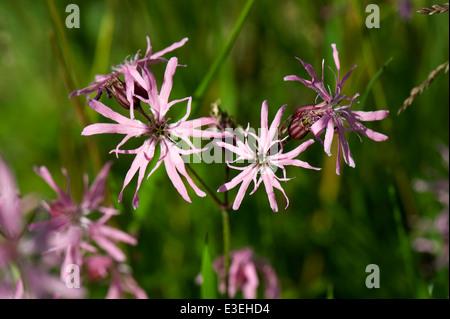 Ragged robin, Lychnis flos-cuculi, plants in flower. - Stock Photo