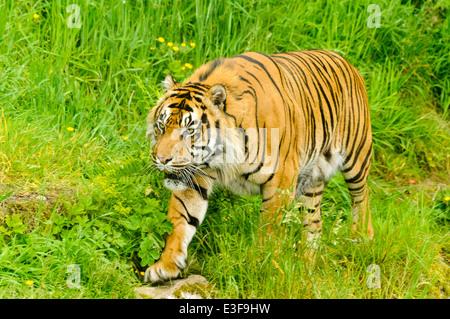 Male Sumatran tiger (Panthera tigris sumatrae) - Stock Photo