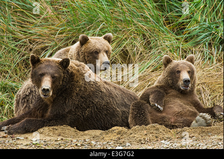A mother coastal brown bear (grizzly bear) relaxes in a sand pit with two yearling cubs. - Stock Photo