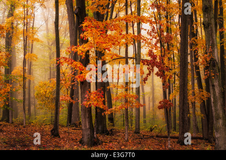 A foggy fall woodland in Michigan's north woods, USA - Stock Photo