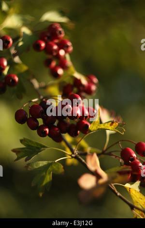 Hawthorn (crataegus monogyna) - Stock Photo