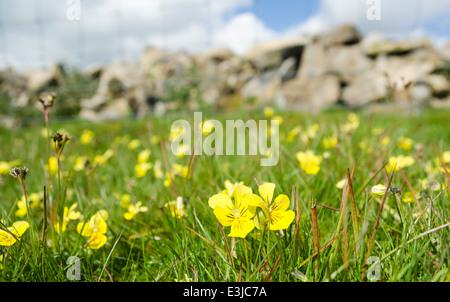 Mountain Pansy - viola lutea - Stock Photo