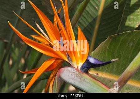 Strelitzia reginae - Stock Photo