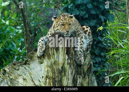 Extremely Rare Amur Leopard  (Panthera Pardus Orientalis) On Tree Stump - Stock Photo