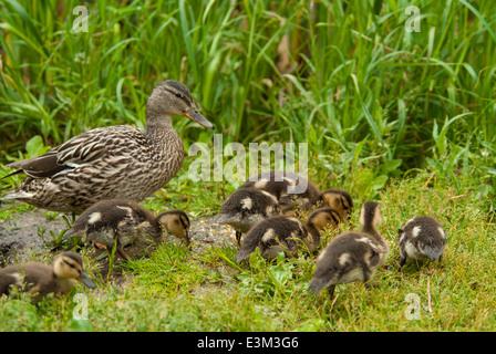 Mother mallard duck, Anas platyrhynchos, with several ducklings foraging for food, Grandin Pond, St Albert, Alberta, - Stock Photo