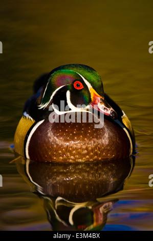 Wood duck (Aix sponsa) - Stock Photo