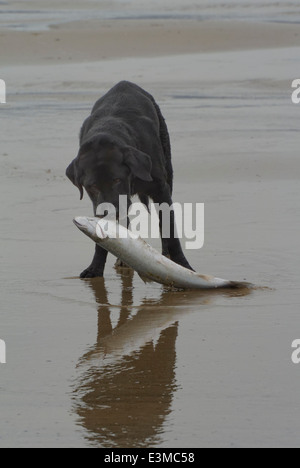 Elderly labrador dog finds a large sea bass on the beach at Proth Neigwl and tries to retireve it - Stock Photo
