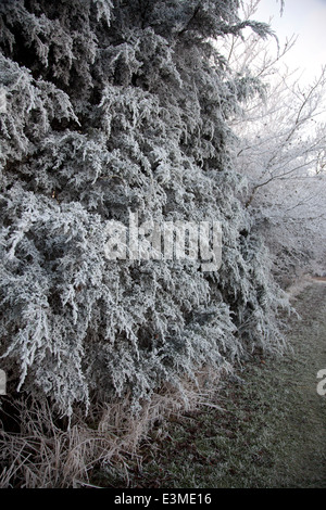 Frost covered tree on a wintery December's day - Stock Photo