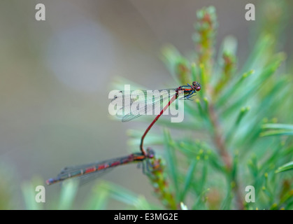The Large Red damselfly (Pyrrhosoma nymphal) a European insect paired.  SCO 9091. - Stock Photo