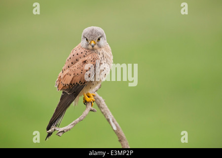 Common Kestrel (Falco tinnunculus) adult male, standing on branch of tree, Hortobagy,  Europe - Stock Photo