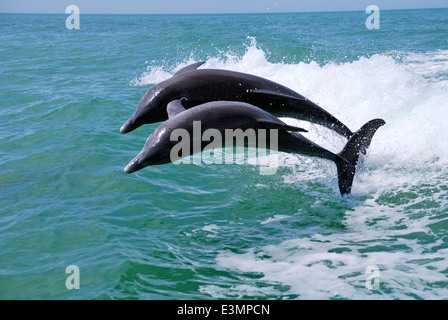 Two dolphins jumping in the Gulf of Mexico. - Stock Photo