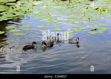 A group of young Coots swimming on Keston Ponds, Bromley, Kent. - Stock Photo