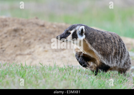 American Badger, Ravalli County, Montana - Stock Photo