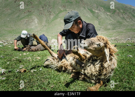 Kyrgyz nomads shearing sheeps in the fields, Kyrgyzstan - Stock Photo