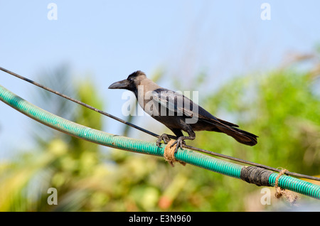 Indian House Crow (Corvus splendens) on electric cable, Goa, India - Stock Photo