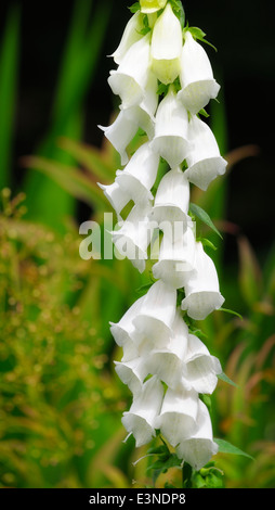 Single stem of white foxglove flower Digitalis purpurea f Alba - Stock Photo