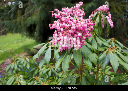 Pieris japonica christmas cheer stock photo 138825379 alamy small pink bell shaped flowers of pieris japonica christmas cheer lily mightylinksfo