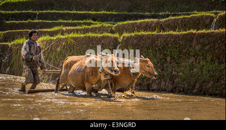 Farmer ploughing a rice paddy with water buffaloes, Tegalalang, Bali, Indonesia - Stock Photo