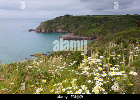 Cliffs covered in oxeye daises Petit Bot Bay Guernsey - Stock Photo