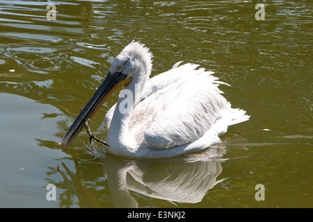 Pelikan - Stock Photo