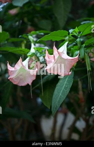 Brugmansia arborea;Datura arborea; - Stock Photo