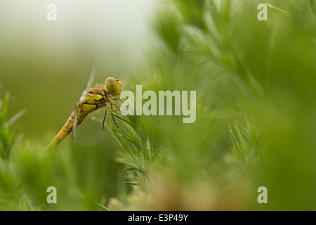 Common Darter Dragonfly - Stock Photo