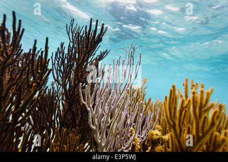 Close up underwater view of colorful branch corals living on the coral reef off the east coast of Belize - Stock Photo