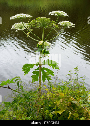 Giant Hogweed plant species Heracleum mantegazzianum, growing on the bank of the river Tees in Yarm England UK - Stock Photo