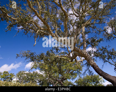 Horizontal portrait of Cork Oak tree, Quercus suber, in full leaf against the sky. Extremadura.Spain. - Stock Photo