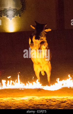 Dwarf Zebu Bos taurus indicus jumping fire Germany - Stock Photo