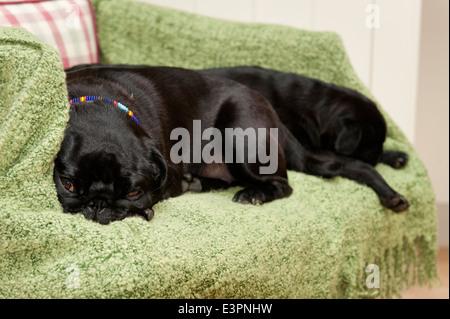 Pair of pugs sleeping on a green blanket - Stock Photo