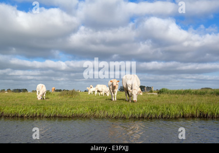 cattle on pasture by river during sunny summer day