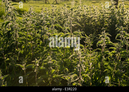 Flowering patch of stinging nettles, Urtica dioica, in evening light - Stock Photo