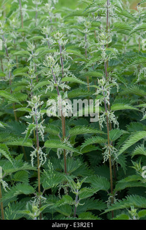 Flowering patch of stinging nettles, Urtica dioica - Stock Photo