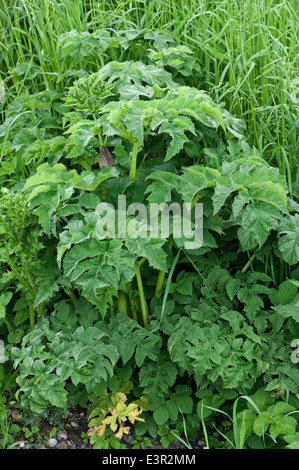 A hogweed plant, Heracleum sphondylium, bold garden weed growing on waste ground - Stock Photo