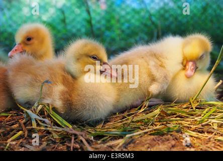 Group of cute baby ducks Stock Photo: 33686564 - Alamy