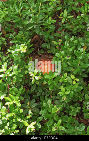 Mushrooms growing among dry leaves and wild berries. - Stock Photo