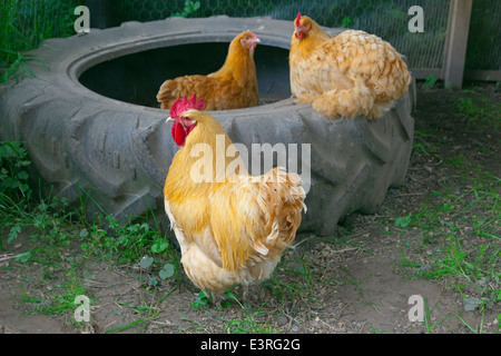 Buff Orpington hens on smallholding - Stock Photo