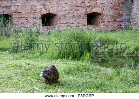 Terezin, the main fortress, fortification. The coypu (Myocastor coypus), also known as the river rat or nutria Czech - Stock Photo