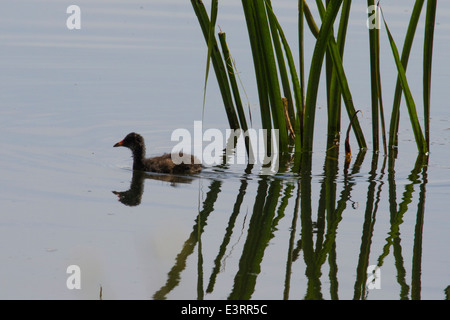 Little Grebe (Tachybaptus ruficollis) also known as Dabchick, swimming amongst reeds - Stock Photo