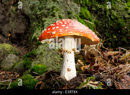 A poisonous fly agaric fungi (amanita muscaria) grows at the base of a tree in a small patch of roadside woodland, - Stock Photo