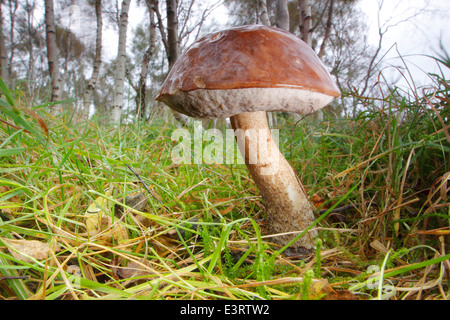 A brown birch bolete (leccinum scabrum) fungi growing on grass in silver birch woodland, Peak District, Derbyshire, - Stock Photo