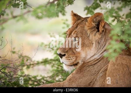 face of a lioness (Panthera leo) Kgalagadi Transfrontier Park, Kalahari, South Africa, Botswana, Africa - Stock Photo
