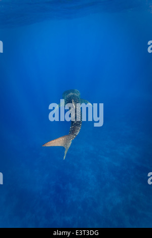 White spots on Whale shark (Rhincodon typus) sparkle in sunlight as it swims in clear Caribbean waters - Stock Photo