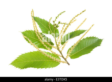 Chestnuts branch with catkins isolated on white - Stock Photo