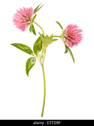 clover plants with flowers isolated on white - Stock Photo